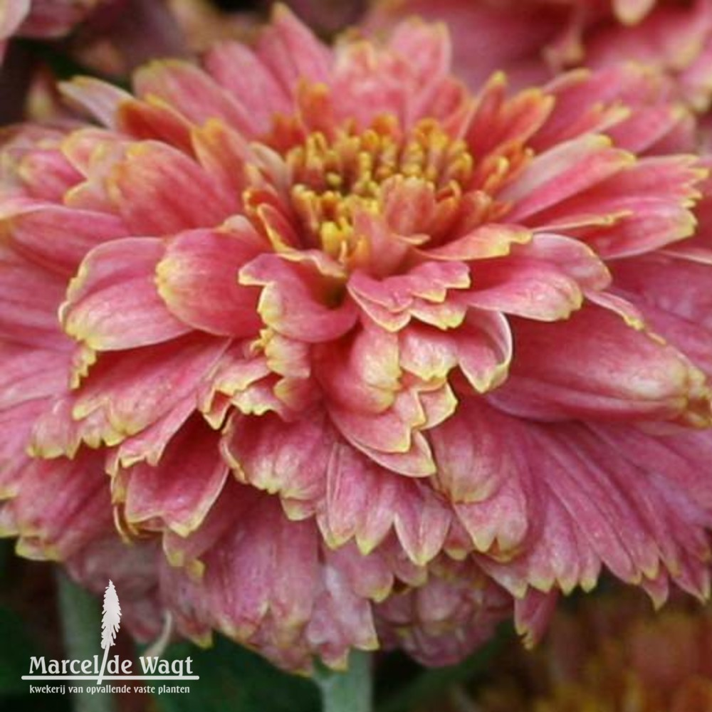 Chrysanthemum Doctor Tom Parr