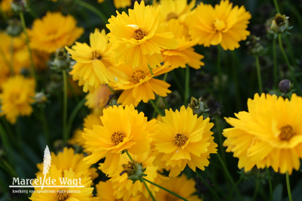 Coreopsis Vens Orange Yellow