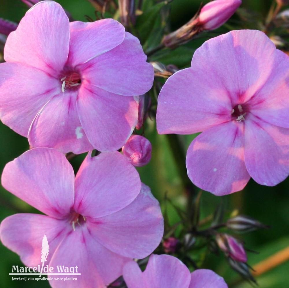 Phlox - Kwekerij van opvallende vaste planten, Ven-Zelderheide