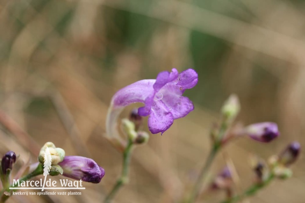 Strobilanthes rankanensis BSWJ1771